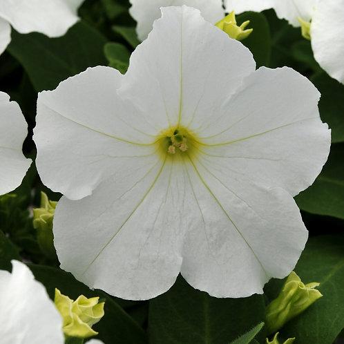 Petunia compact - Pretty Grand White