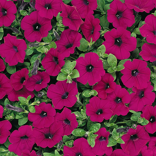 Petunia - Wave Purple