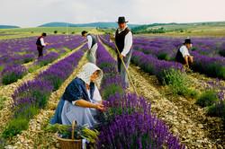 La Récolte de la lanvande