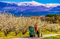 Images de Provence - Arbres en Fleurs -