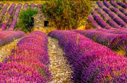 Images de Provence - Cabanon - Lavande (