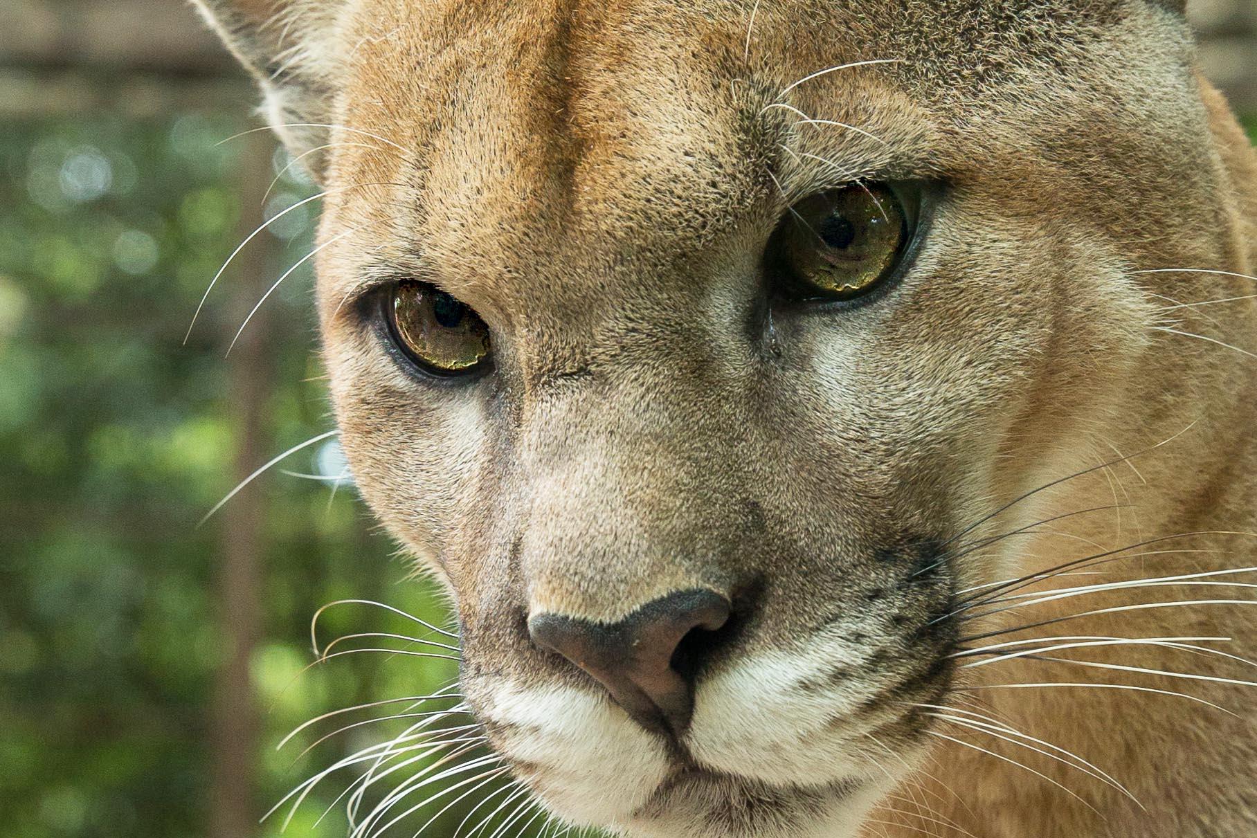 Refuge Puma Costa Rica
