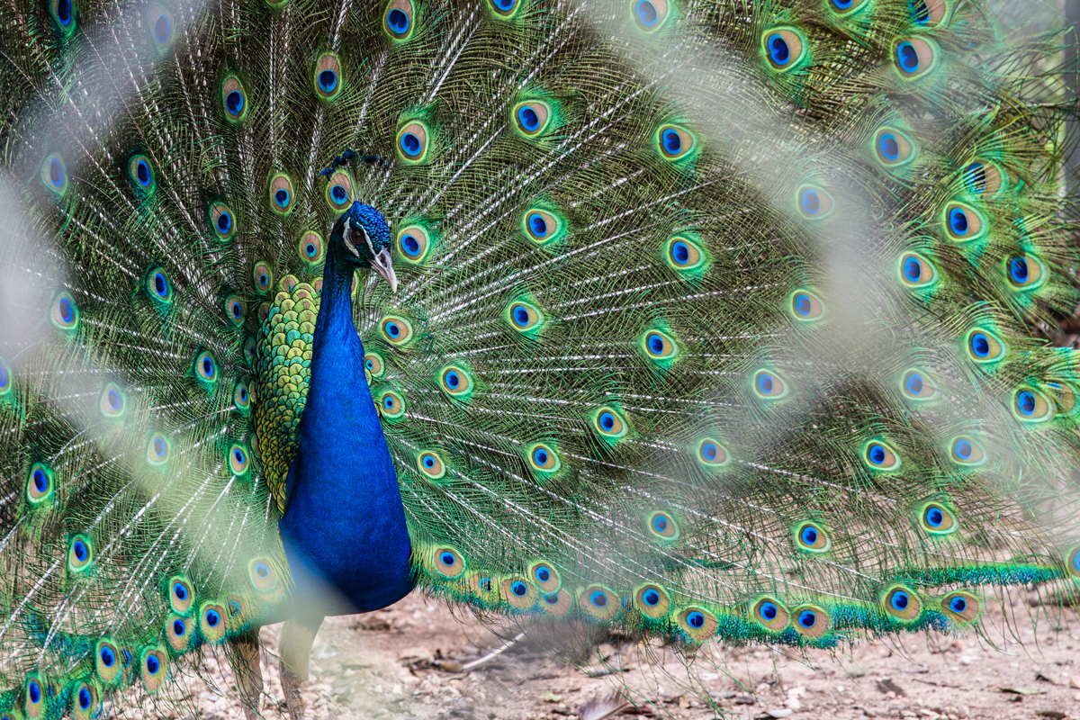 Peacock of Yucatan.