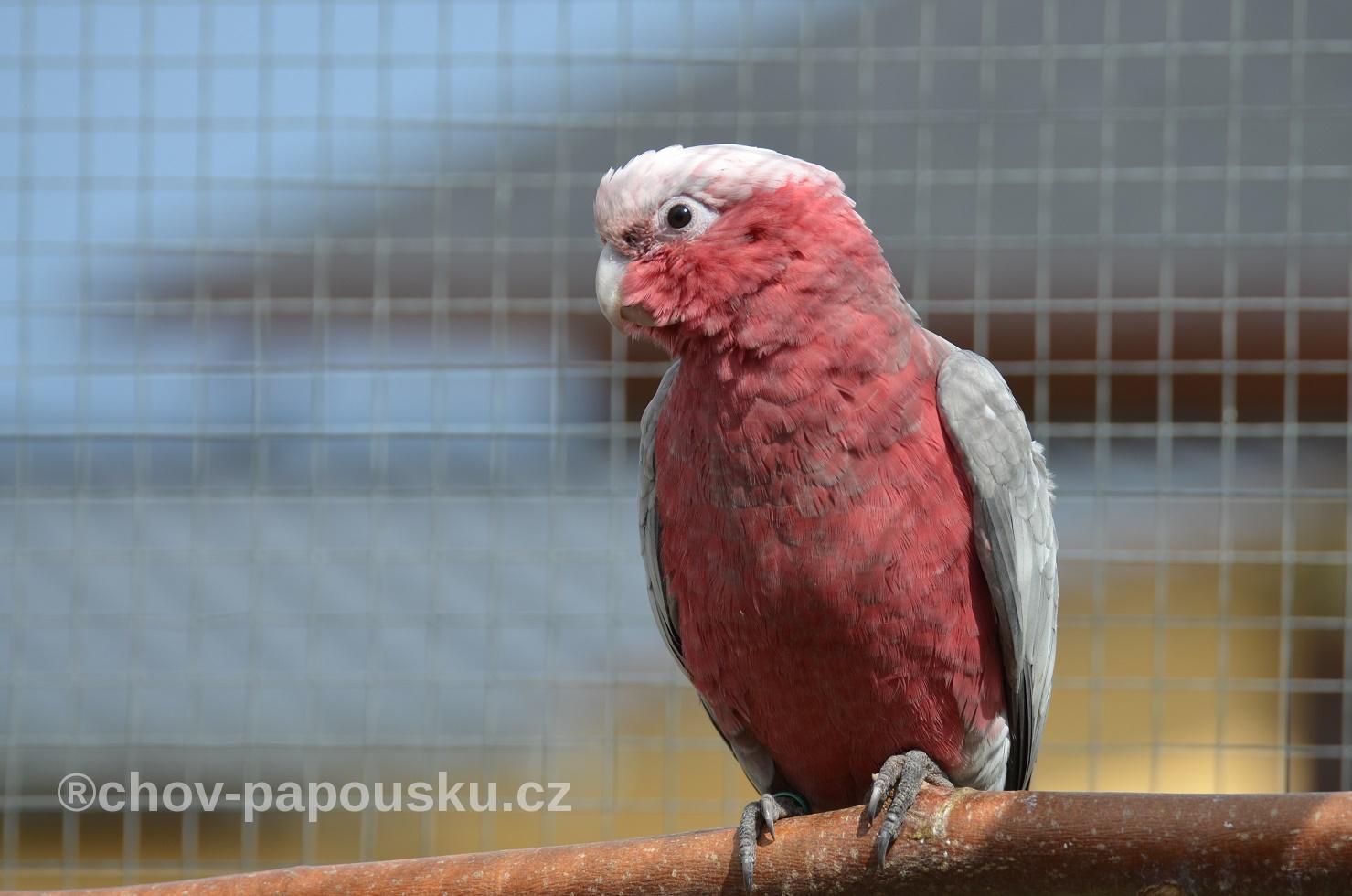 kakadu růžový