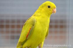 Papoušek červenokřídlý