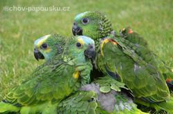 Ručně dokrmení papoušci