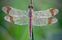 winter dragonfly 1.jpg