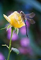 Summer dragonfly.jpg