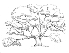 David Kopitzke's Oak LINE.tif