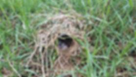 EMeadowlark Nest.jpg