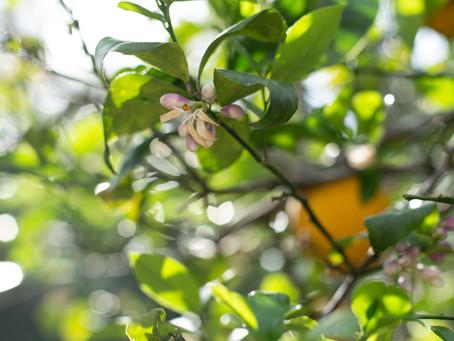 From the Garden   Meyer Lemons