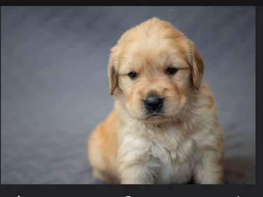 Oliver - AKC Golden  Retriever - Male~ Reserved for Angela R