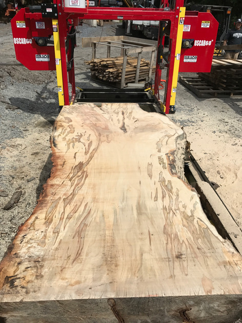 Silver Maple with Ambrosia Beetle Stain