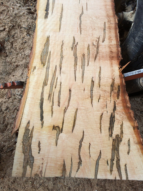 Silver Maple with Ambrosia Beetle Stain and Curl