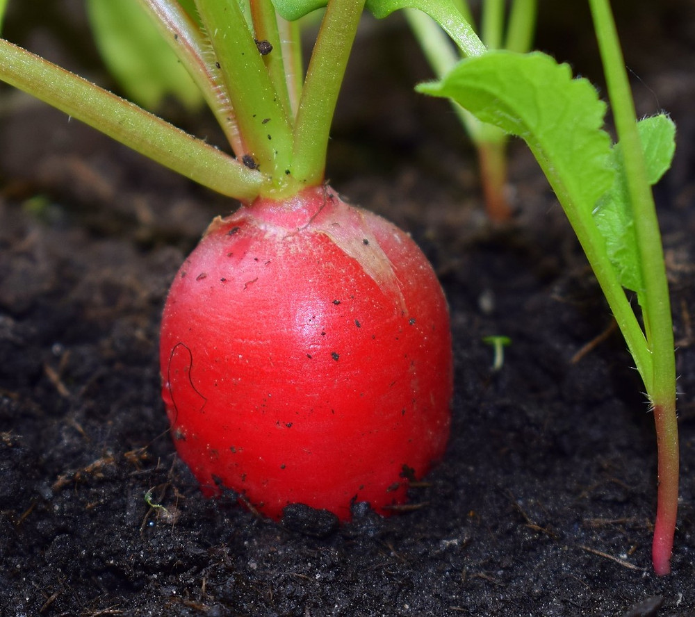 A close up of a red radish growing in up from the soil