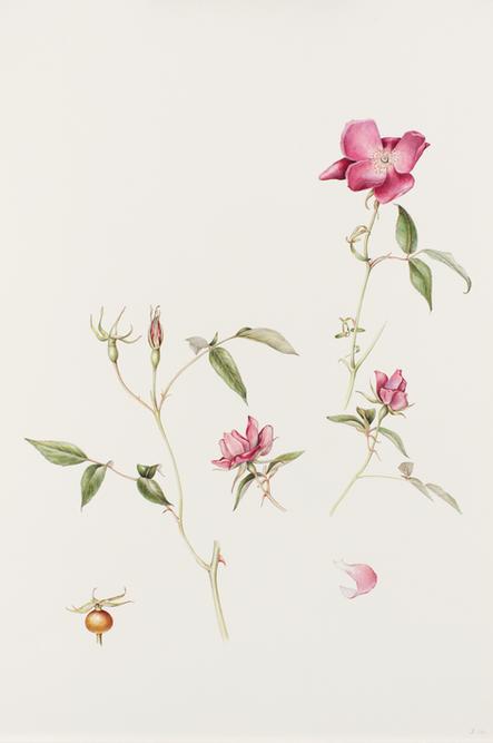 5. Bengal rose trimmed.tif