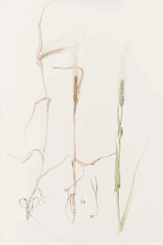 barley trimmed Rumpelstiltskin.jpg