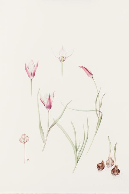 6. Clusiana tulip trimmed.tif