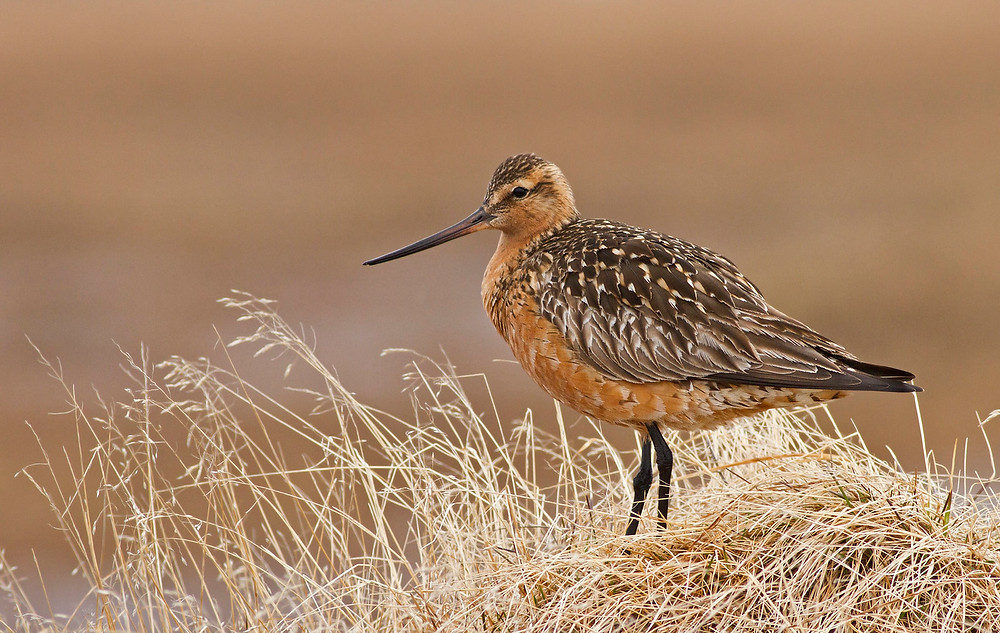 Bar-tailed Godwit - Alaska