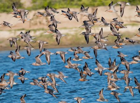 Global Shorebird Counting in Northeastern Brazil 2016