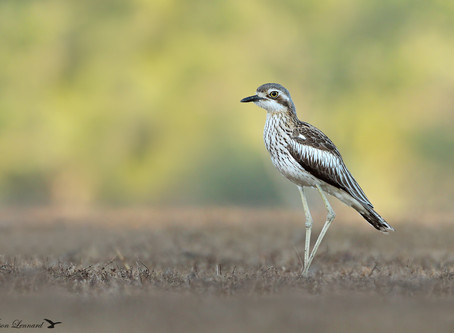 Last push to stand by World Shorebirds Day: the missing species