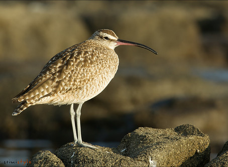 Let's go out counting shorebirds: the 2019 Global Shorebird Counts kicks-off