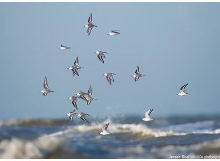 Why not counting shorebirds as you go birding anyway?