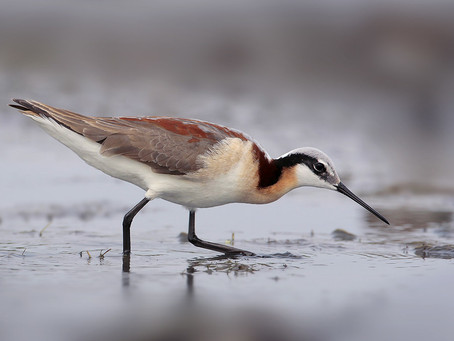 Making the Global Shorebird Counts simple