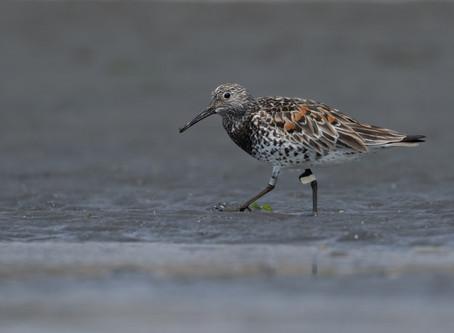 Happy World Shorebirds Day!