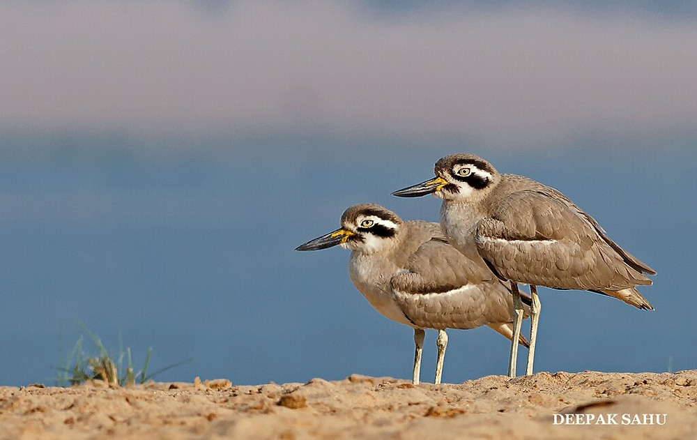 Great-Thick-Knee