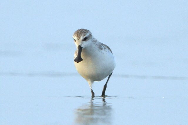 World Shorebirds Day has been raising money for Spoon-billed Sandpiper, as its 'Shorebird of the Year'.