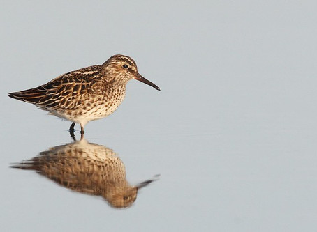 Live(ish) update of shorebird species seen during Global Shorebird Counting