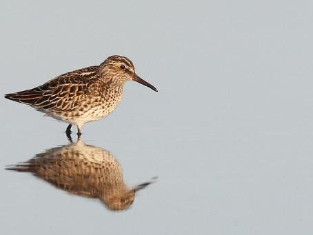 Live(ish) update of shorebird species seen during Global Shorebird Counting