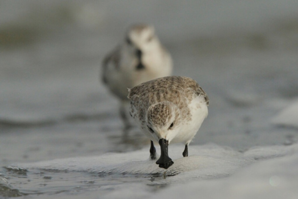 Wintering Spoon-billed Sandpiper in Bangladesh. Image courtesy of Bangladesh Spoon-billed Sandpiper Conservation Project