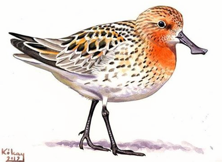 Spoon-billed Sandpiper is the 'Shorebird of the Year'