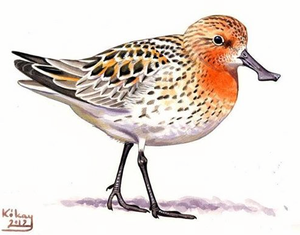 Spoon-billed Sandpiper is the 'Shorebird of the Year'. This beautiful artwork was made by Szabolcs Kókay, an award winning wildlife artist. © Szabolcs Kókay