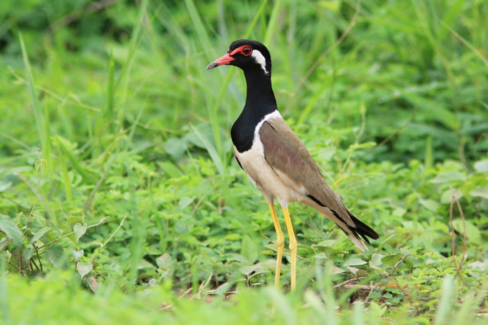 The Red-wattled Lapwing is widespread across South Asia, yet only once recorded during the World Shorebirds Day. © Ayuwat Jearwattanakanok