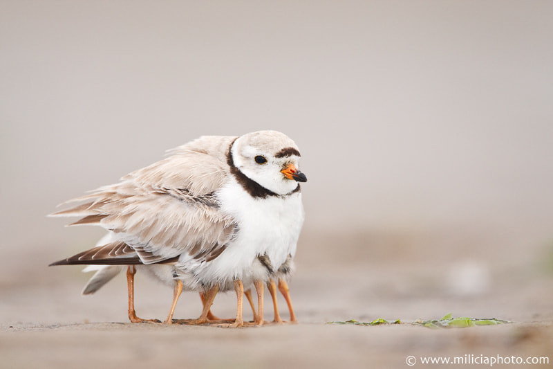 Piping Plover : Sandy Point State Reservation : Plum Island, MA by Michael Milicia on 500px.com