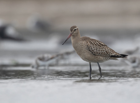 Why is the Global Shorebird Counts not supported in Europe as much as in the Americas?