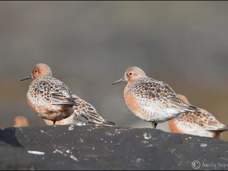 Shorebird Of The Year Deadline Extended