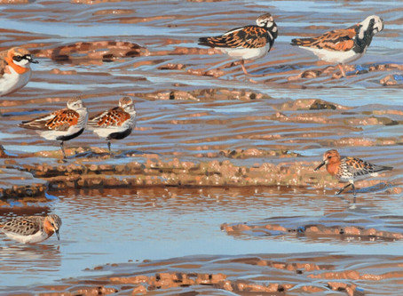 Migratory Shorebird Art