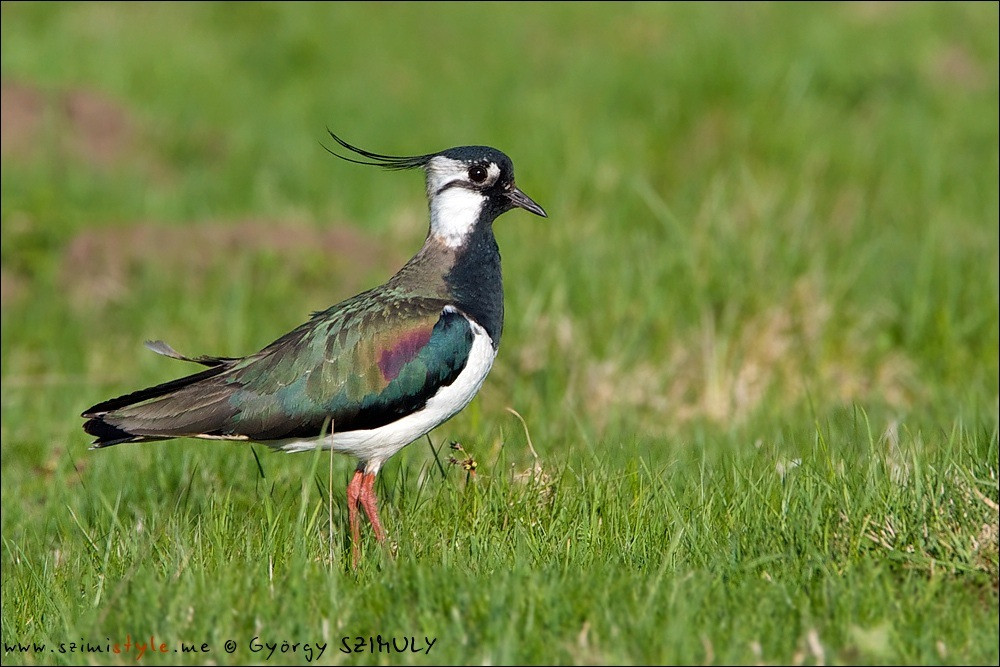 NorthernLapwing_004_1000UK.jpg