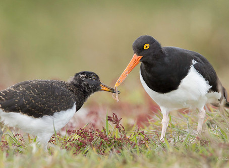 Show your support for the Global Shorebird Counts