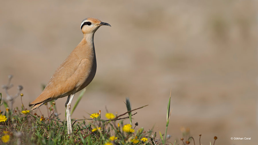Cream-coloured courser by Gökhan CORAL on 500px.com