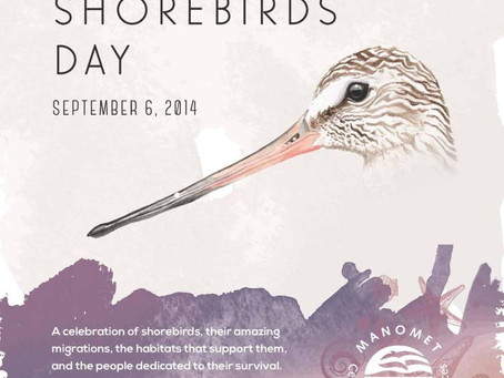 Manomet celebrating the first World Shorebirds' Day