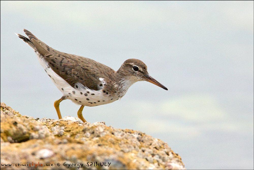 Spotted Sandpiper in transit towards their North American breeding grounds. © Gyorgy Szimuly