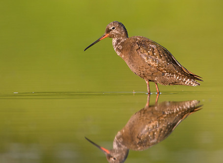 Encouraging eBirders to join the 2020 Global Shorebird Counts