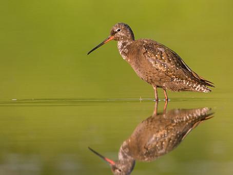 Encouraging eBirders to join the 2020 Global Shorebird Counts