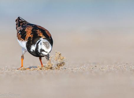 The most successful shorebird counts ever!