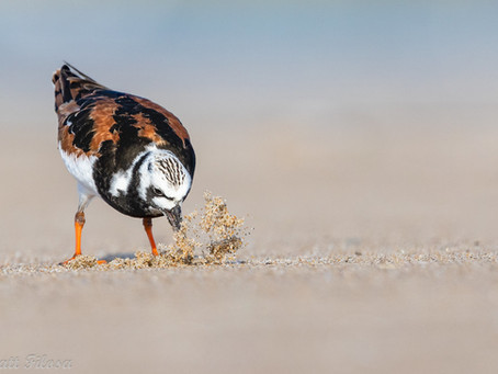 The most successful shorebird counts ever!